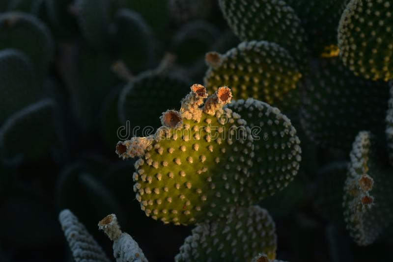 Thorny cactus plants in early morning sunlight. Thorny cactus plant growing in early morning sunlight in Sonoran desert of Arizona USA royalty free stock photography
