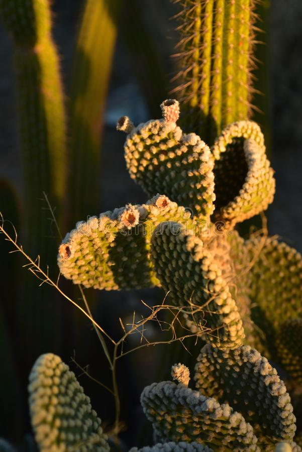 Thorny cactus plants in early morning sunlight. Thorny cactus plant growing in early morning sunlight in Sonoran desert of Arizona USA royalty free stock images