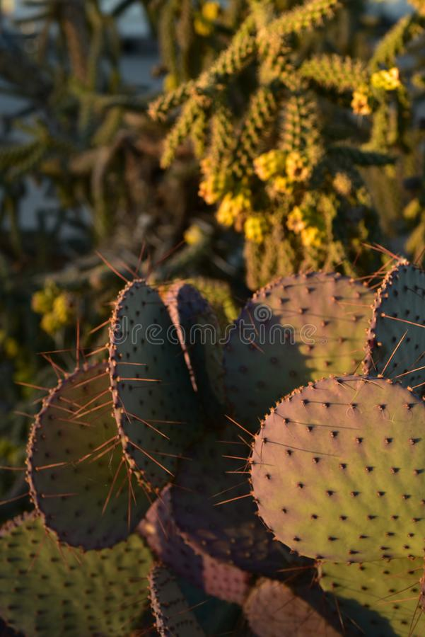 Thorny cactus plants in early morning sunlight. Thorny cactus plant growing in early morning sunlight in Sonoran desert of Arizona USA stock images