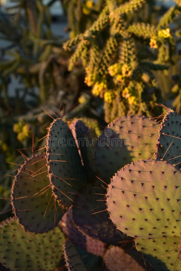 Thorny cactus plants in early morning sunlight. Thorny cactus plant growing in early morning sunlight in Sonoran desert of Arizona USA stock photography
