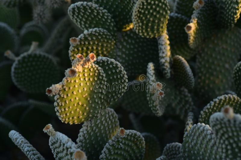 Thorny cactus plants in early morning sunlight. Thorny cactus plant growing in early morning sunlight in Sonoran desert of Arizona USA royalty free stock photo
