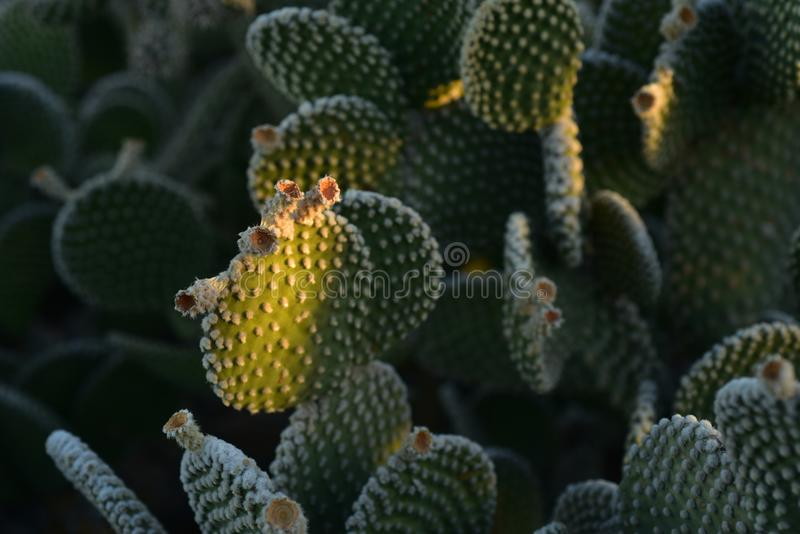 Thorny cactus plants in early morning sunlight. Thorny cactus plant growing in early morning sunlight in Sonoran desert of Arizona USA royalty free stock photos