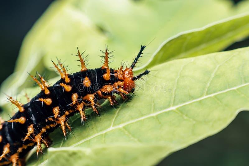 Thorny caterstijl deze thorny - insecten bevatten gif en veroorzaken jeuk op de huid royalty-vrije stock foto's