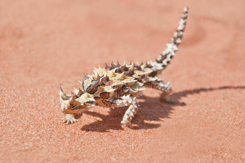 Thorny Devil with shadow on red outback sand royalty free stock image