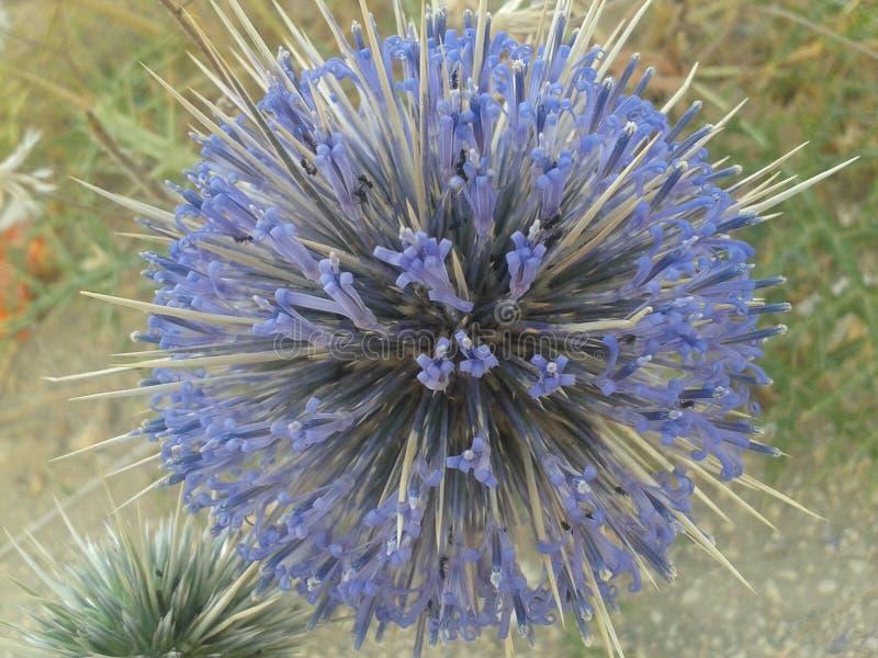 thorny kwiat obraz royalty free