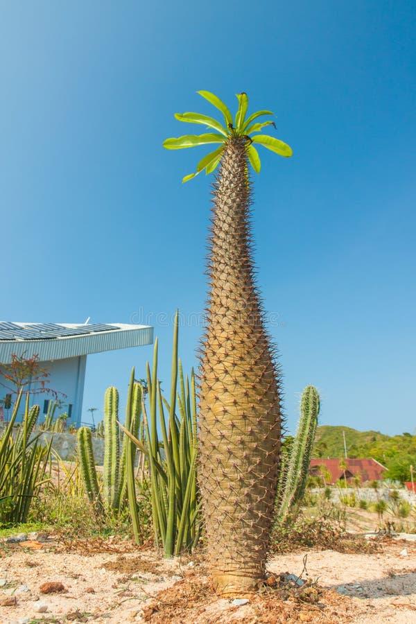 thorny madagascar cactus stock photo image of green