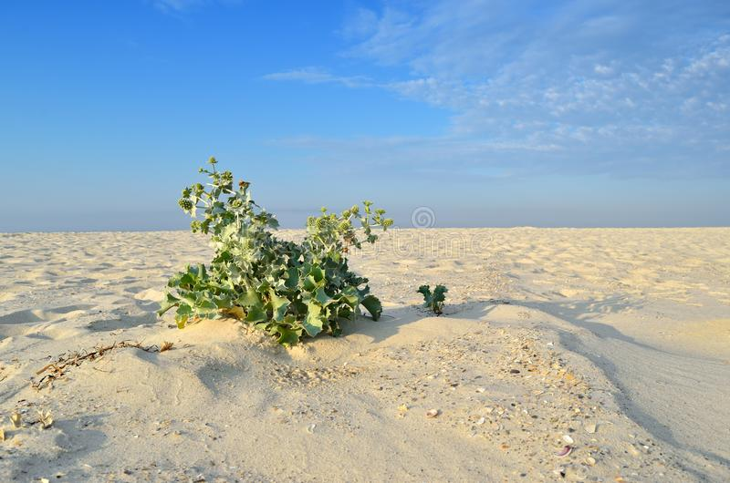 Thorny plant grows in the sand in the desert.  stock photos