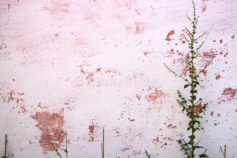 Thorny plant lying down on old pink wall. Thorny plant with other plants lying down on old pink wall royalty free stock image