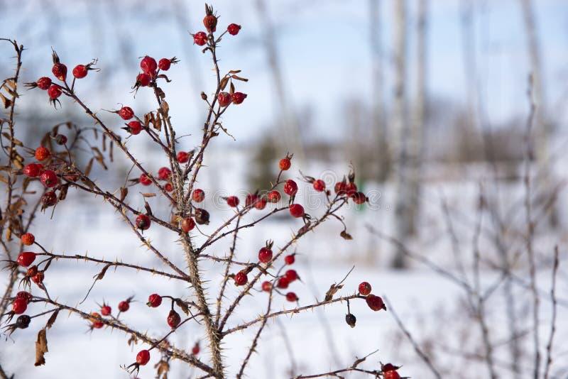 Thorny Wild Rose in mid winter in Saskatchewan stock photo