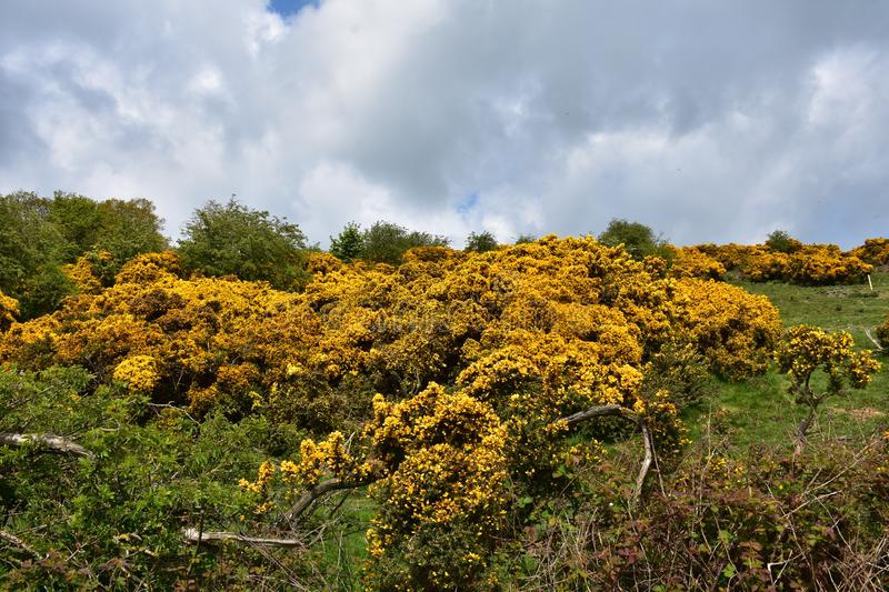 Thorny Yellow Gorse Bushes Blooming in Fields. Pretty thorny golden gorse bushes flowering in fields stock photos