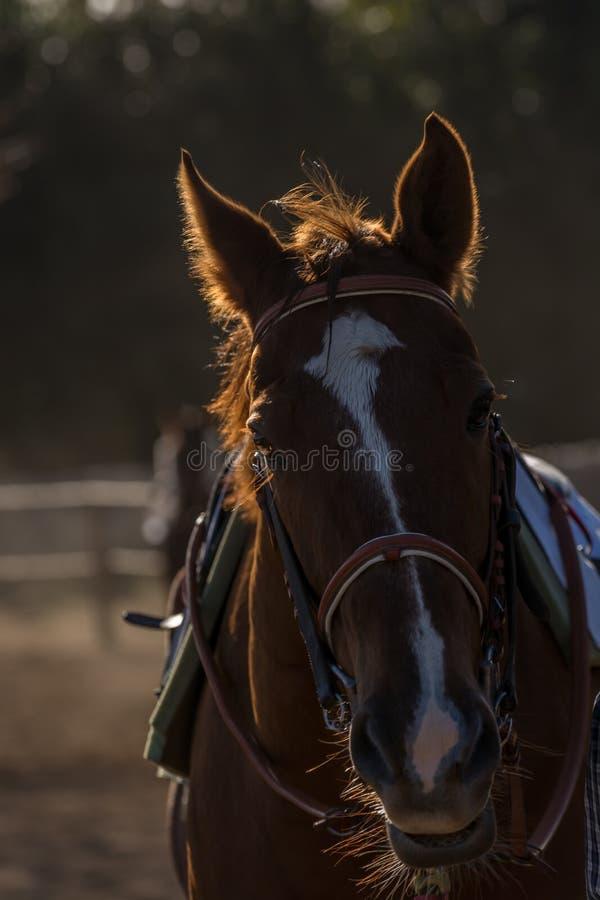 Thoroughbread häst på fält fotografering för bildbyråer