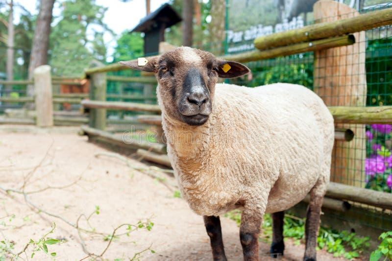 Thoroughbred πρόβατα του Σάφολκ που στέκονται στις πτυχές Οριζόντιο summerti στοκ εικόνα με δικαίωμα ελεύθερης χρήσης