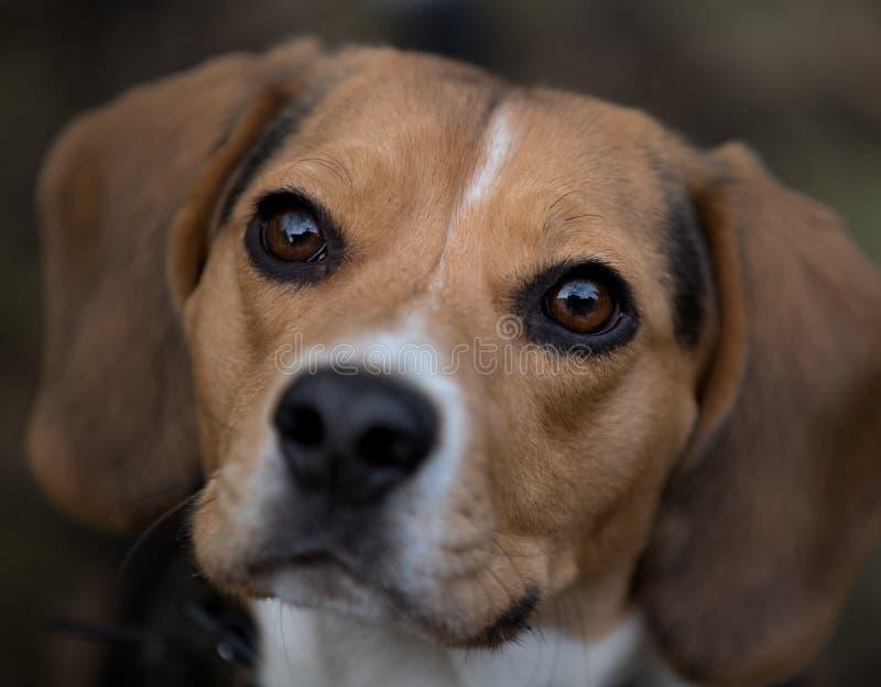 Πορτρέτο ενός όμορφου σκυλιού λαγωνικών, φίλος του σπιτιού στοκ φωτογραφία με δικαίωμα ελεύθερης χρήσης