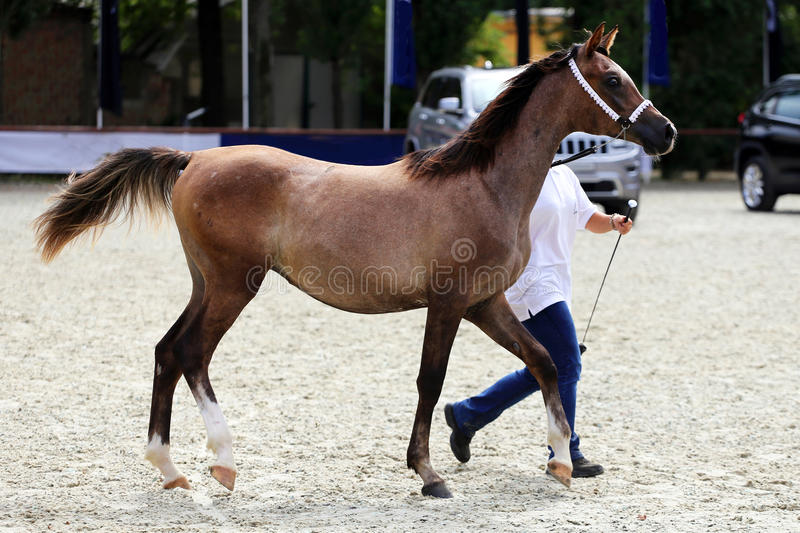 Thoroughbred arabian breed colt running across showground with t. Purebred arabian horse on a foal show stock photo