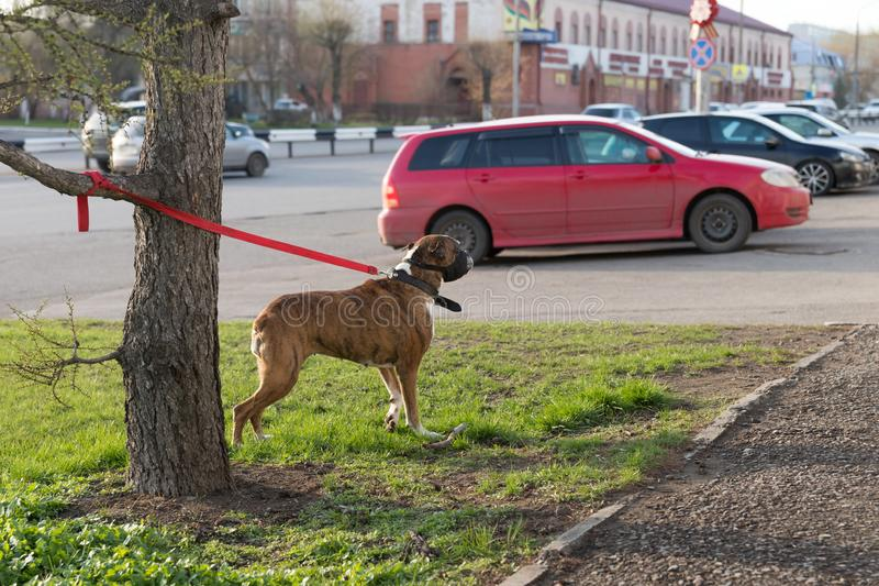 A thoroughbred brown dog is tied to a tree against the background of a red car in the city Parking lot. Krasnoyarsk, Krasnoyarsk region / RF - May 9, 2018: A royalty free stock image