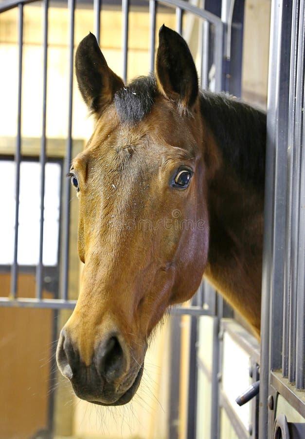 Όμορφο άλογο στο σταύλο Thoroughbred άλογο closeup στοκ φωτογραφία με δικαίωμα ελεύθερης χρήσης