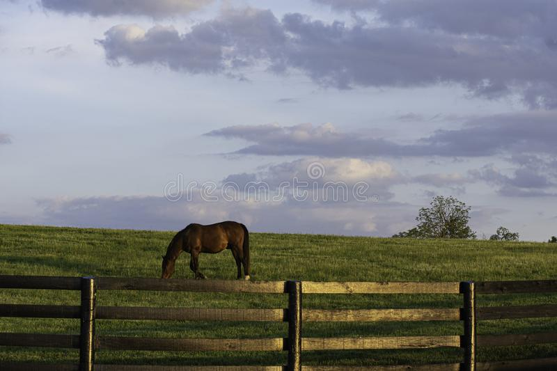 Thoroughbred grazing in KY bluegrass region. A lone Thoroughbred horse grazing in Kentucky`s bluegrass region during a spring evening royalty free stock photography
