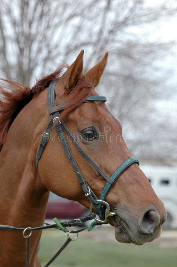 Free Thoroughbred Head In Bridle Royalty Free Stock Photo - 2270595