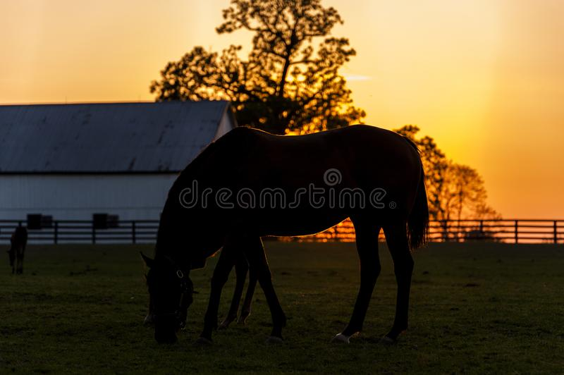 Thoroughbred Horse on Farm - Bluegrass - Central Kentucky stock image