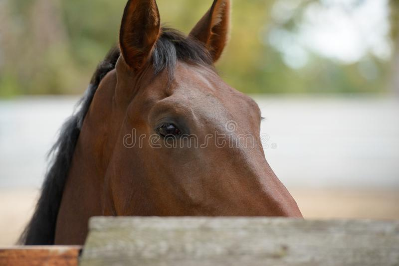 A thoroughbred horse on farm closeup view stock photo