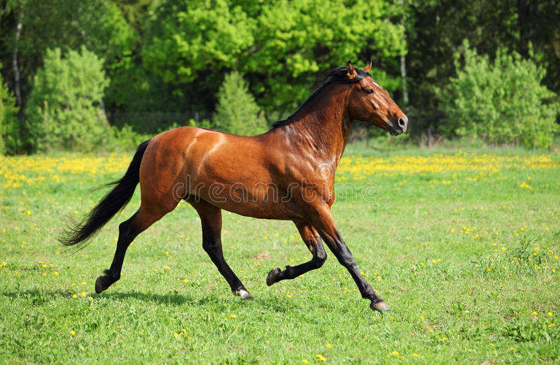 Thoroughbred horse galloping in grass field. Thoroughbred horse stallion runs through tall grass field royalty free stock photos