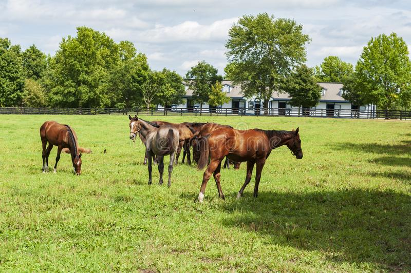 Thoroughbred horses on a Kentucky horse farm royalty free stock image