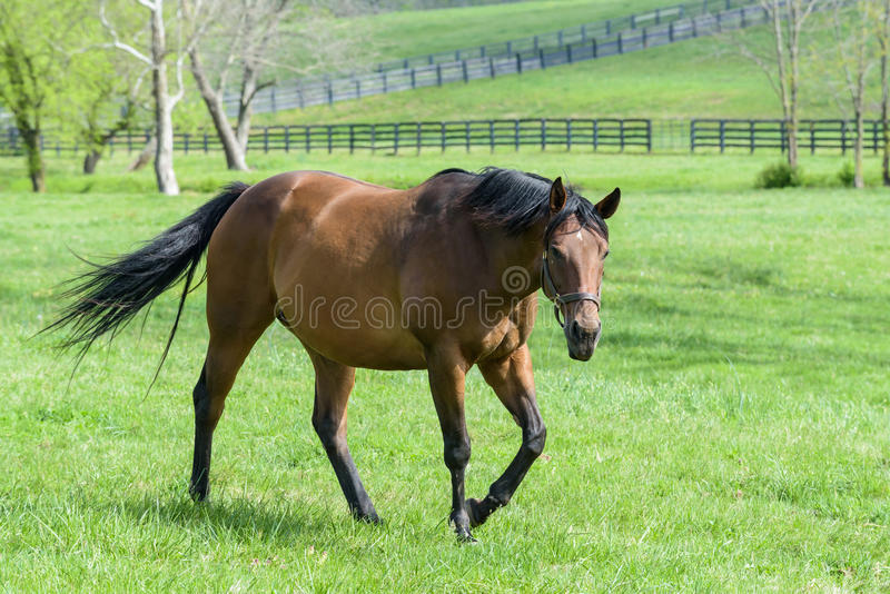 Thoroughbred Mare in a Bluegrass Pasture. Thoroughbred horses in a field of bluegrass. Kentucky horse country stock images