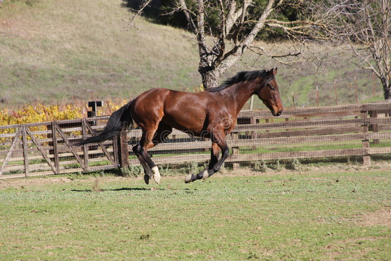 Thoroughbred Racehorse Royalty Free Stock Images