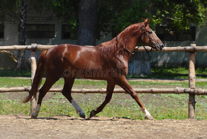 Thoroughbred racehorse runs on a green summer meadow. Bay horse skips on a stud farm meadow against woods royalty free stock photo