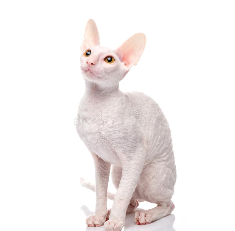 Thoroughbred White Cornish Rex Cat on white background. stock images