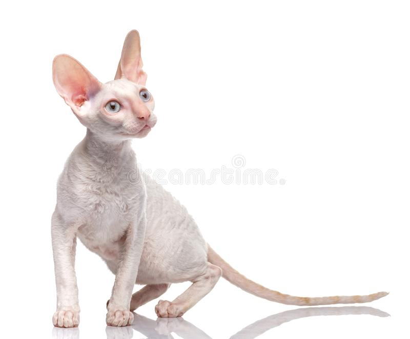 Thoroughbred White Cornish Rex Cat on white background. royalty free stock image