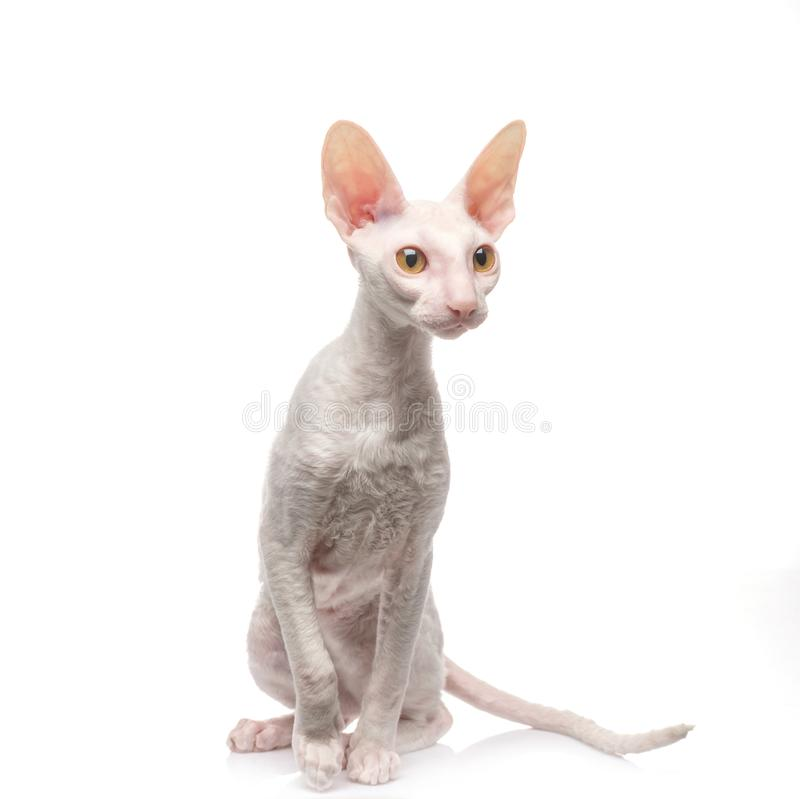 Thoroughbred White Cornish Rex Cat on white background. royalty free stock photography