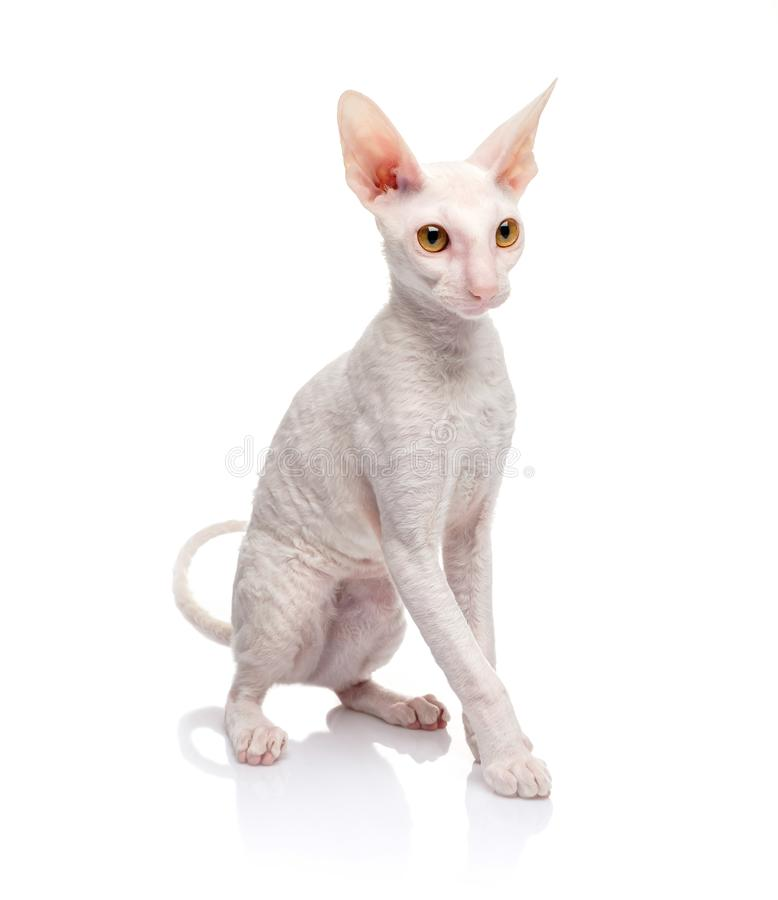 Thoroughbred White Cornish Rex Cat on white background. royalty free stock photos
