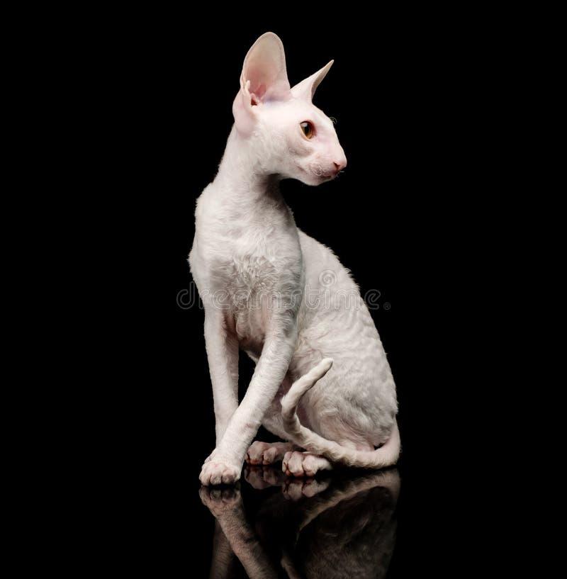 Thoroughbred White Cornish Rex Cat on black background. royalty free stock photography
