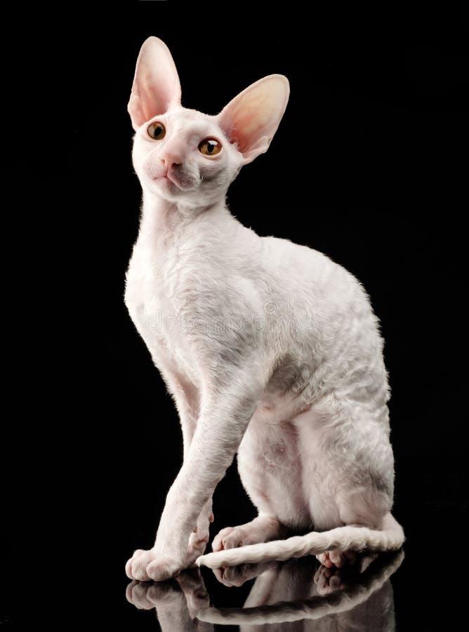 Thoroughbred White Cornish Rex Cat on black background royalty free stock images