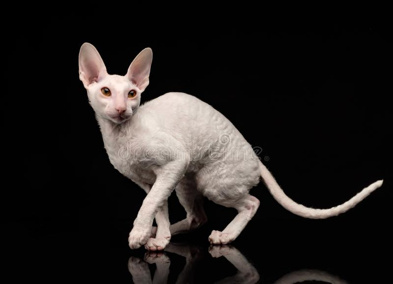Thoroughbred White Cornish Rex Cat on black background stock images