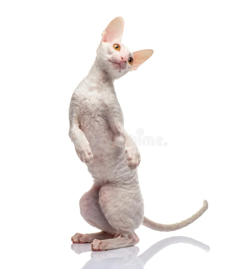 Thoroughbred White Cornish Rex Cat on white background. royalty free stock photo