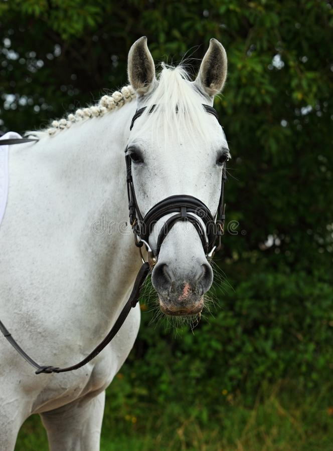 Thoroughbred white horse portrait in the stud at summer day stock photography
