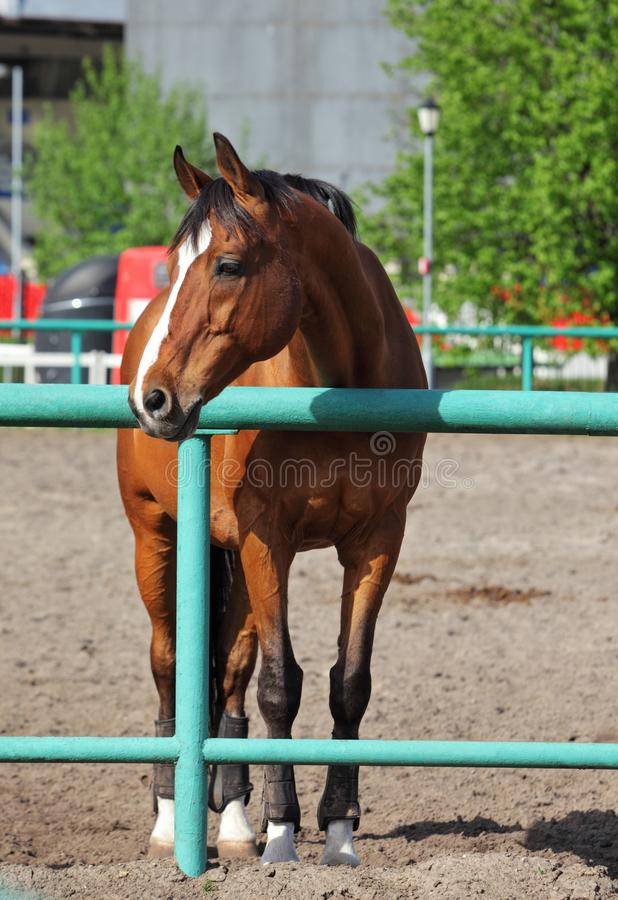 Thoroughbred young horse posing against spring farm stock photography