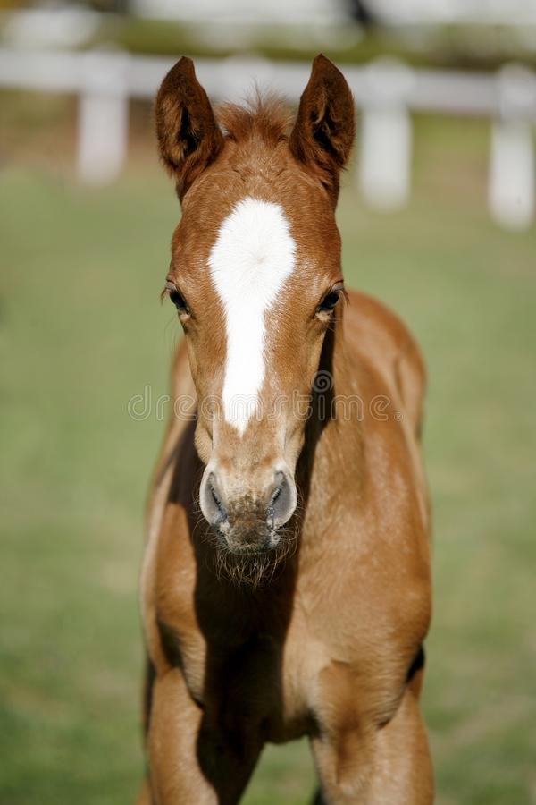 Head shot of a newborn thoroughbred filly at beautiful animal ranch. Thoroughbred young horse posing on the green meadow summertime. Portrait of a purebred young royalty free stock photo