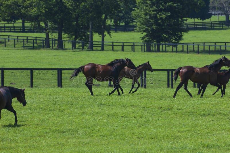 Thoroughbreds biega na Kentucky konia gospodarstwie rolnym fotografia royalty free