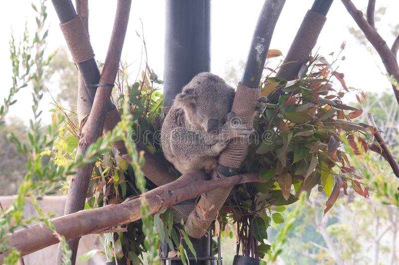 Koalas as they perch in their eucalyptus forest. The koala is an arboreal herbivorous marsupial native. royalty free stock photography