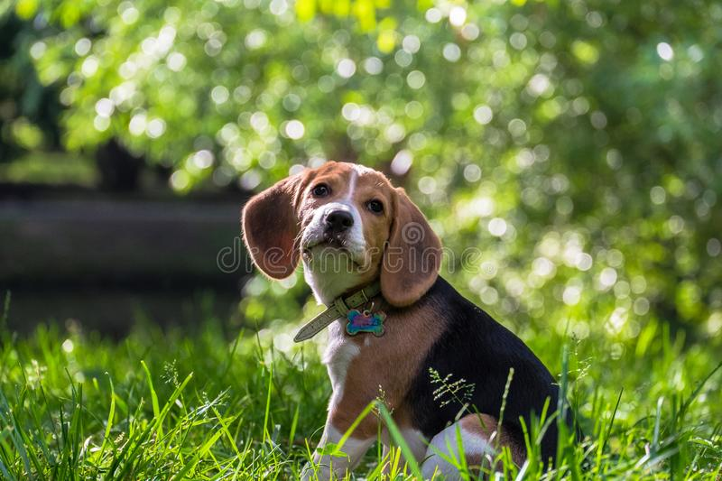 A thoughtful Beagle puppy with a blue leash on a walk in a city park. Portrait of a nice puppy. stock image