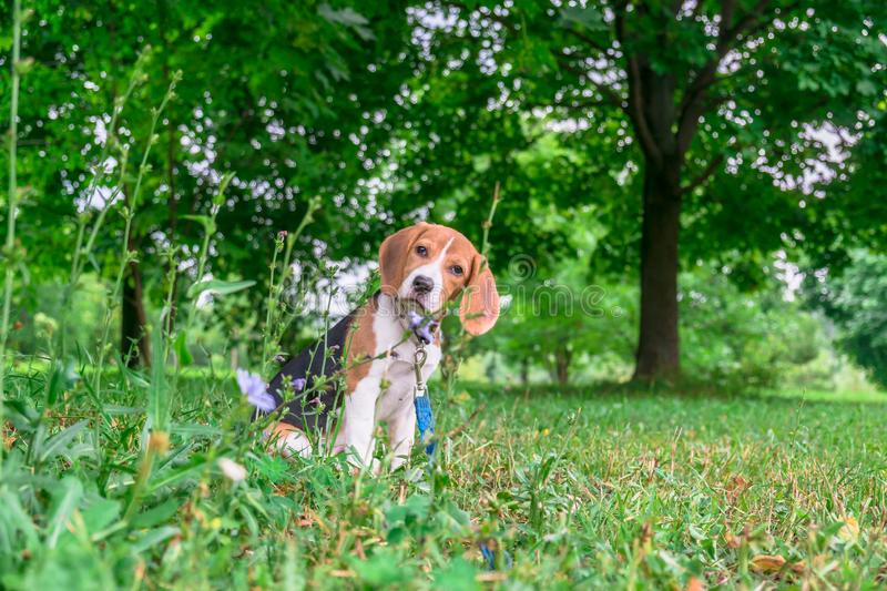 A thoughtful Beagle puppy with a blue leash on a walk in a city park. Portrait of a nice puppy. stock photo
