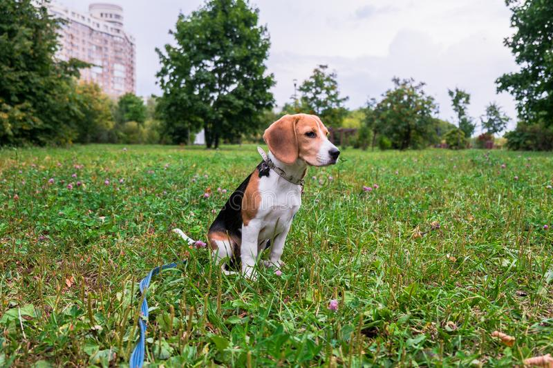 A thoughtful Beagle puppy with a blue leash on a walk in a city park. Portrait of a nice puppy. royalty free stock image