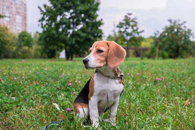 A thoughtful Beagle puppy with a blue leash on a walk in a city park. Portrait of a nice puppy. royalty free stock photography