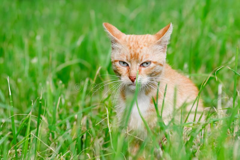 Thoughtful cat sitting in the grass and watches stock photography