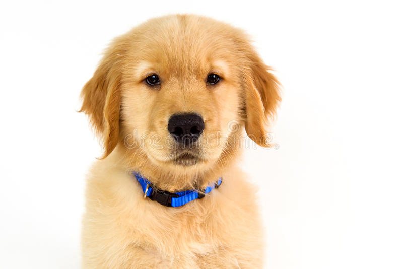 Thoughtful golden retriever face on white background stock image