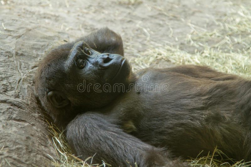 Thoughtful Gorilla Relaxing Stock Photography