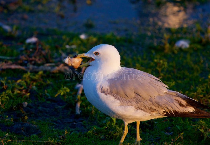 The thoughtful gull with the food stock images